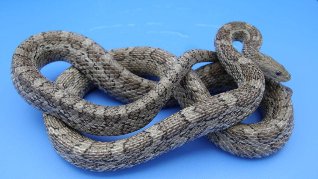 アトリエミカミ・蛇タレント・撮影用・所属タレント・蛇の撮影