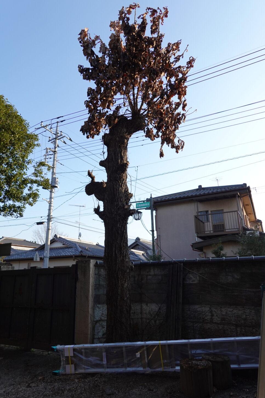 登録有形文化財橋本旅館スタジオ・柏の木・脚立。はしご4メートル20センチ購入・伐採予定
