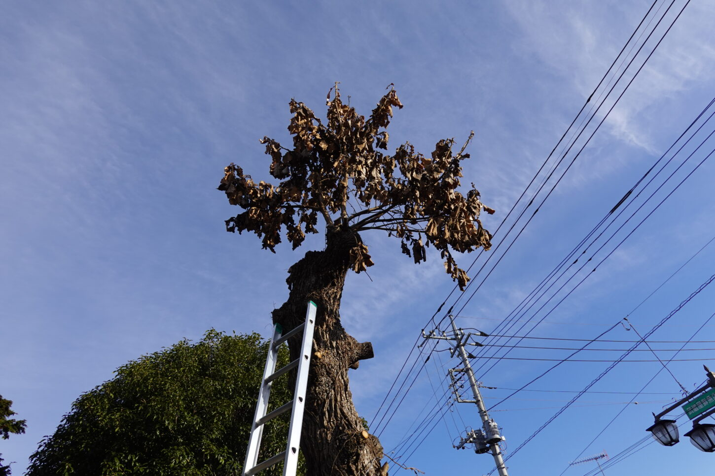 登録有形文化財橋本旅館スタジオ・柏の木・脚立。はしご4メートル20センチ購入・伐採