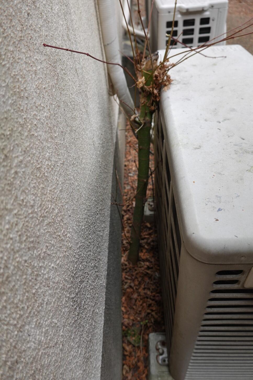 登録有形文化財橋本旅館スタジオの庭のエアコン室外機の裏の木の伐採