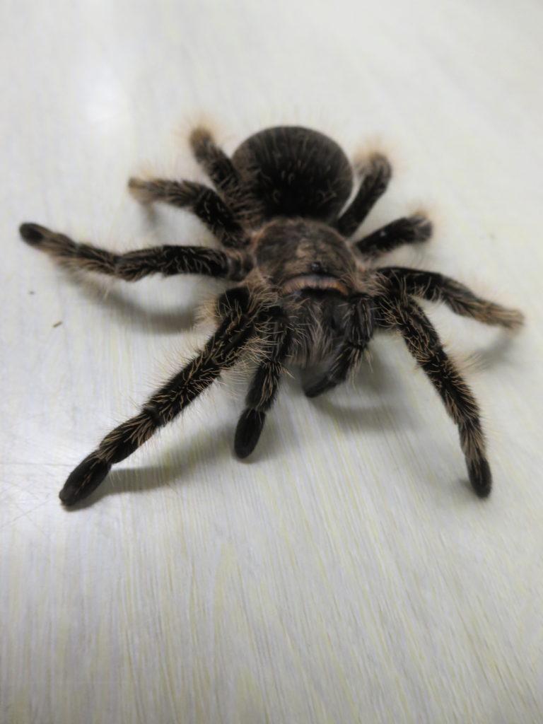 撮影用動物・タランチラー・蜘蛛