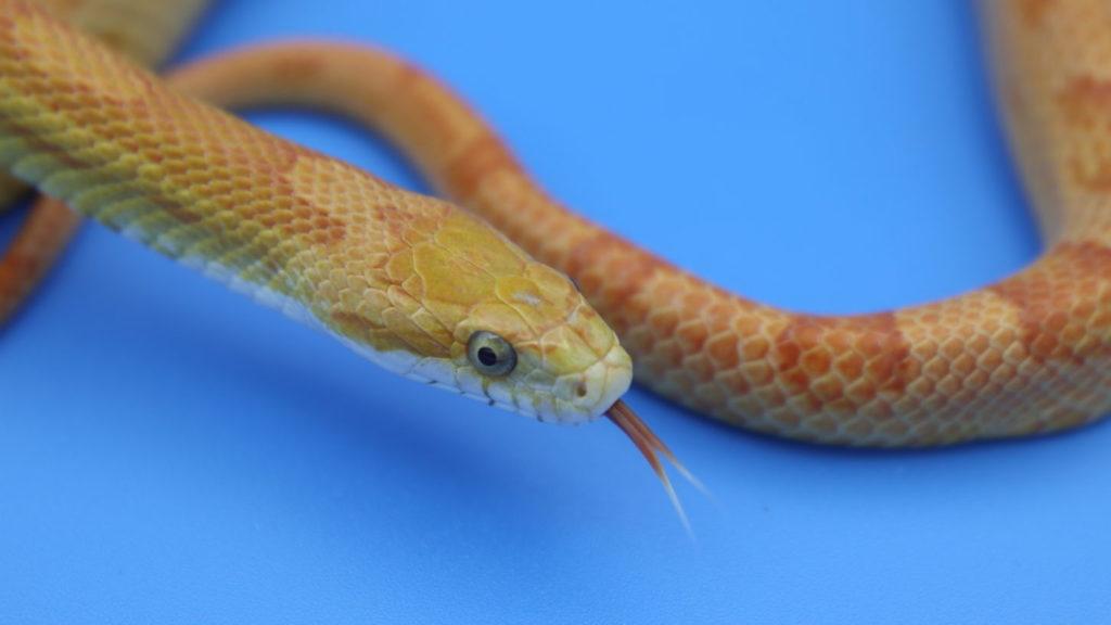 ヘビタレント・撮影用蛇・動物プロダクション・アトリエミカミ・蛇モデル