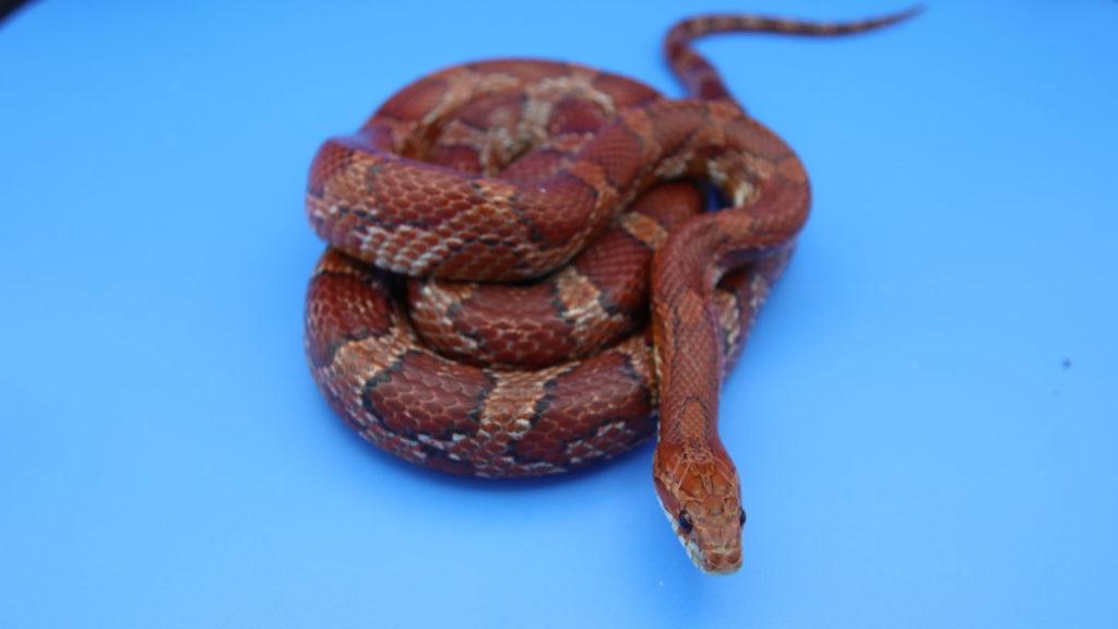 コーンスネーク・蛇・タレント・アトリエミカミ・所属・専属モデル・撮影・動物・動物プロダクション・蛇タレント
