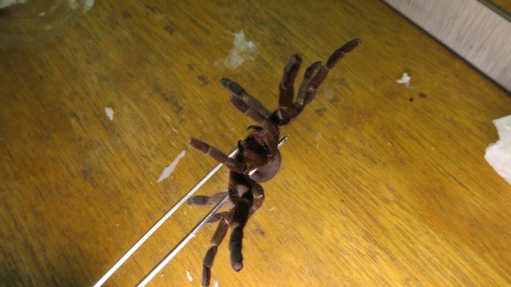 タランチラー・撮影・安全にするためのケアー・牙・毒液・チェク・蜘蛛・モデル・タレント
