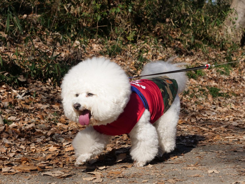 犬・ビションフリーゼ・撮影・動物プロダクション・アトリエミカミ