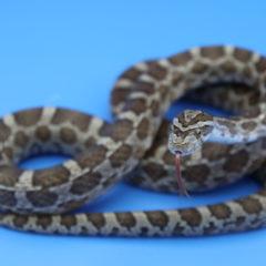 アトリエミカミ所属の蛇タレント・宣材写真・撮影・動物プロダクション・蛇撮影