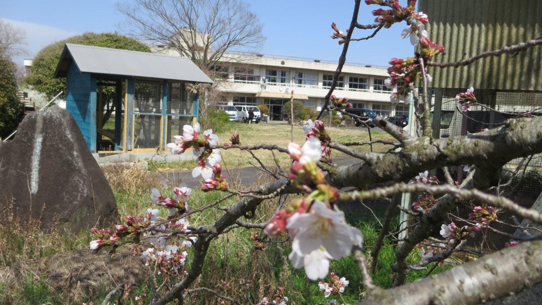 いろいろ撮影できる学校スタジオ・桜の花咲き始めました・2020年3月22日