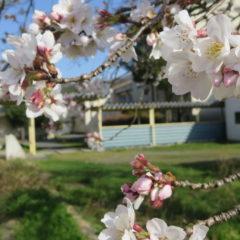 いろいろ撮影できちゃう学校スタジオ・渡り廊下・学校中庭・学校イメージ・桜シーズン・春のイメージ