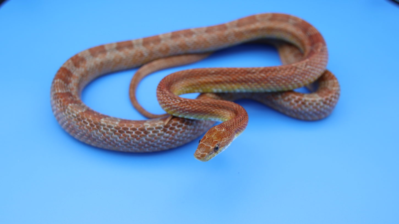 アトリエミカミの蛇タレント・蛇モデル・撮影動物・所属・動物プロダクション・へびの撮影