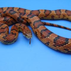 アトリエミカミ所属・蛇タレント・モデル・宣材写真・動物プロダクション・貸し動物