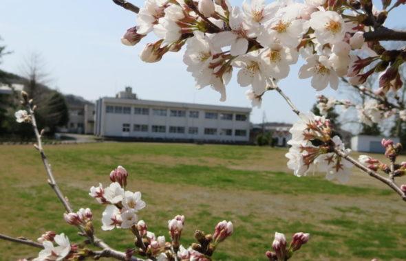 いろいろ撮影できちゃう学校スタジオで撮影・第2校舎・春・桜咲く・校庭から