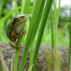 いろいろ撮影できちゃう学校スタジオの庭に蛙が・アマガエル・アトリエミカミ・ハウススタジオ