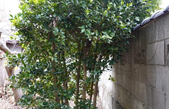 登録有形文化財橋本スタジオの庭の木が敷地からはみ出し道路に