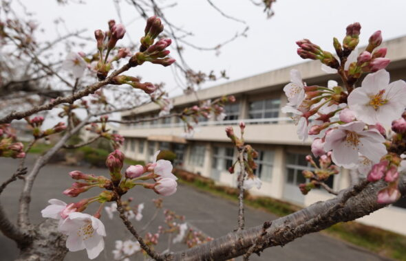 2021年3月25日の学校スタジオの桜咲く・桜と学校イメージ