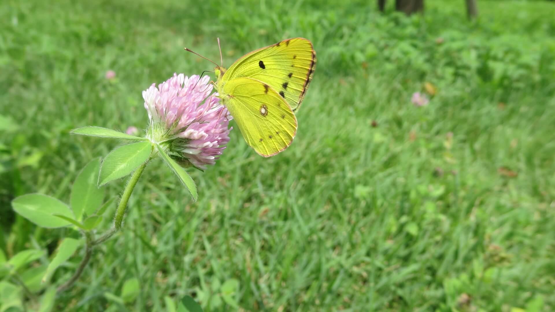モンキチョウ・黄色・蝶々・撮影用・調達