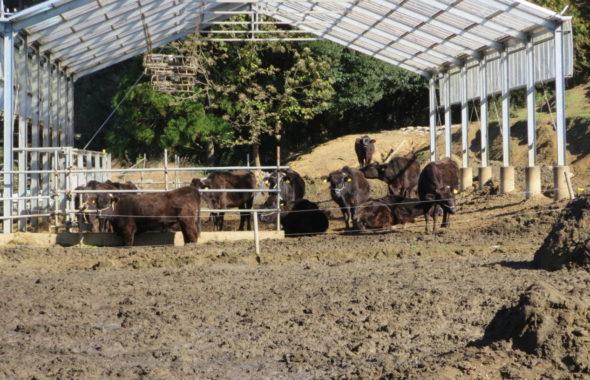 動物プロダクション・牛・黒毛和牛・撮影・輸送・スタジオ・搬送・